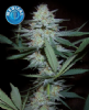 Kera Medical Crazy Mouse Female 5 Weed Seeds